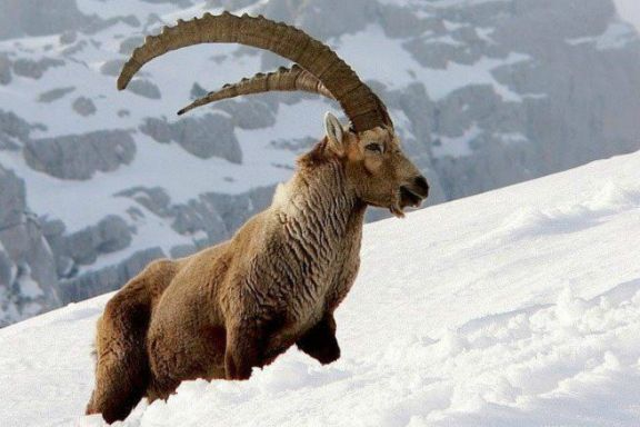 An ibex in Hunza, Pakistan
