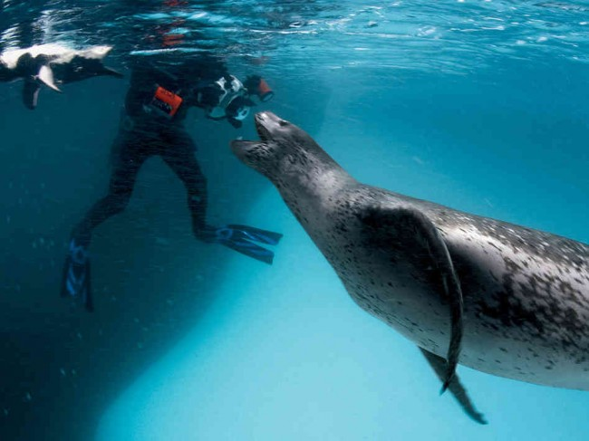 Leopard-Seal-Feeds-Photographer-Penguins-650x487