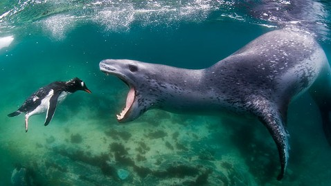 leopard-seal-attacking-penguin